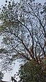Bat Tree, Sittwe, Myanmar.jpg