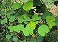 Bauhinia tomentosa 05.JPG