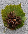 Baum Hasel, Corylus colurna 7.JPG