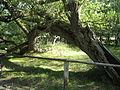 Baum am Natureum am darsser ort.jpg