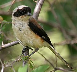 Bay-backed Shrike (Lanius vittatus) in Anantgiri, AP W IMG 8866.jpg