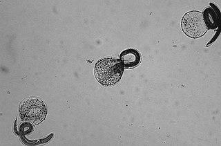 <i>Baylisascaris</i> Genus of worms