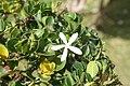 Bearberry (Arctostaphylos uva-ursi ).jpg