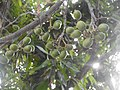 Beautiful Unrippen Mangoes.jpg