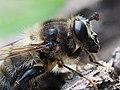 Bee-mimicking hoverfly (Criorhina pachymera), Serra de Malcata near Penamacor, Portugal (47663560882).jpg