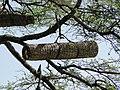 Beehive in Ethiopia.jpg