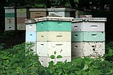 العسل 160px-Beehives_in_Ma