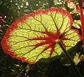 BegoniaSun.jpg