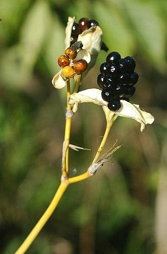 Iris domestica - Iris domestica seed pod