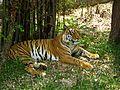 Bengal Tiger In Bannerghatta Bengaluru.jpg