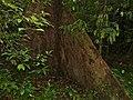 Benuang (Octomeles sumatrana) big buttress (15473933249).jpg