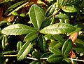 Berberis gagnepainii (6).JPG