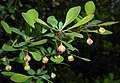 Berberis thunbergii Microphylla 2016-04-19 7561b.jpg