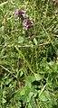 Betonica officinalis (Plittersche)-1.jpg