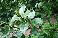 Betula medwediewii JPG1b