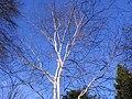 Betula pendula001.JPG