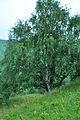 Betula pendula Silver Birch მეჭეჭიანი არყი (2).JPG