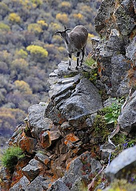Bharal, Himalayan blue sheep In Tibet.jpg