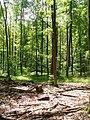 Bieselheide - Laubwald (Deciduous Woodland) - geo.hlipp.de - 39609.jpg