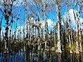 Big Cypress National Preserve SR 94 - Cypresses.jpg