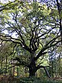 Big trees in the woods - Nov 2012 - panoramio.jpg