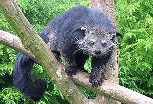 Binturong - Image: Binturong in Overloon