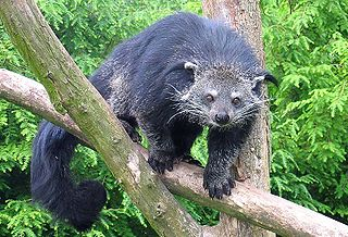 Binturong species of mammal in the family Viverridae, native to South and Southeast Asia