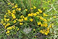 Bird's-foot Trefoil (Lotus corniculatus) - Guelph, Ontario 2020-06-07 (02).jpg