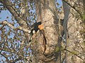 Bird Great Hornbill Buceros bicornis at nest DSCN9018 02.jpg
