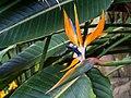 Bird of paradise flower (60514).jpg
