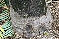 Bismarckia nobilis 9zz.jpg