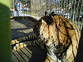 Bitola Zoo Tiger.JPG