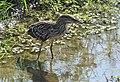 Black-crowned Night Heron (28816939013).jpg