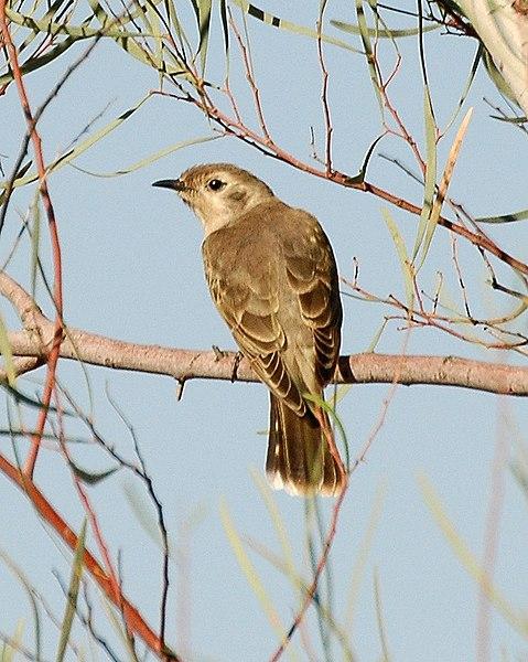 Ficheiro:Black-eared Cuckoo imm bowra nov06.jpg