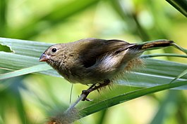 Black-faced grassquit (Tiaris bicolor) female.jpg