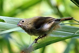 Black-faced grassquit - female, Jamaica