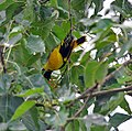 Black-hooded Oriole eating Peepal fig I IMG 9785.jpg