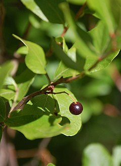 Black-huckleberry-Acadia.jpg