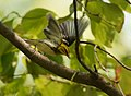 Black-throated Green Warbler gets a caterpillar, loses it and throws a tantrum -4 (37262432086).jpg