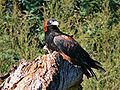 Black Breasted Buzzard 1.jpg