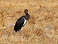 Black Stork (Ciconia nigra) (46691555671).jpg