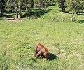 Black bear in yellowstone 2 edit 1.jpg