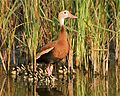 Black bellied whistling duck with chicks Steve Sinclair outreach use only (19864273025).jpg