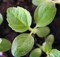Black mission fig seedling 1.jpg