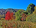 Blackberry Patch, Oak Glen, CA 11-8-14c (15597064097).jpg