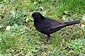 Blackbird (26203876338).jpg