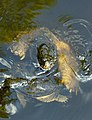 Blacklick Woods - Common snapping turtles mating 3.jpg