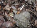 Blanfordia japonica 2.png