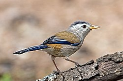 Blue-winged Minla (35648262442).jpg
