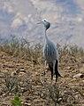 Blue Crane (Anthropoides paradiseus) calling (32459086712).jpg